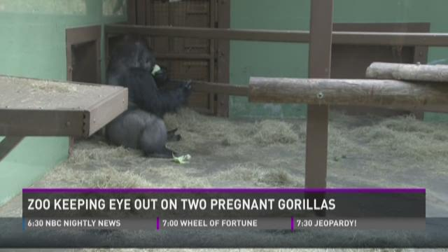 Zoo keeping eye on two pregnant gorillas