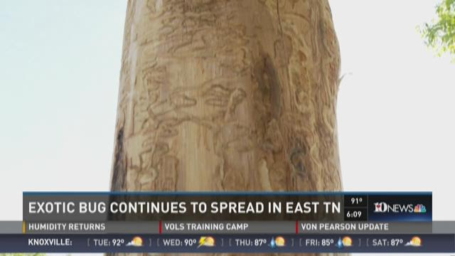 Invasive bug continues to spread in East Tennessee